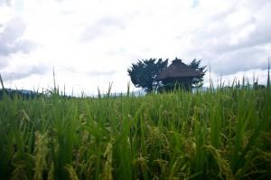 稲刈り前の荒神神社